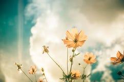 Gelbe Kosmosblumenweinlese stockfotografie