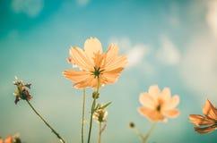 Gelbe Kosmosblumenweinlese stockbilder
