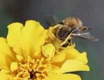 Gelbe Krabbenspinne, die auf einer Biene erbeutet stockbilder