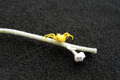 Gelbe Krabbenspinne, die einen schlanken Thread spinnt Stockfotos