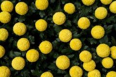 Gelbe Kreis-Blumen Stockfotografie