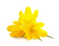 Gelbe Krokus-/Frühlingsblumen lokalisiert Lizenzfreies Stockfoto