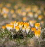 Gelbe Krokusblume lizenzfreie stockfotos