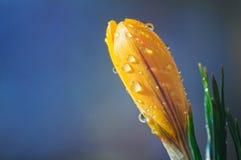 Gelbe Krokusblume in den Wassertropfen auf einem blauen Hintergrund stockfoto