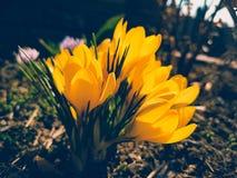 Gelbe Krokusblumen auf Hintergrundbeleuchtung Stockfotografie