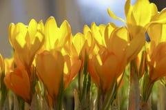 Gelbe Krokusblumen im Frühjahr stockfotos