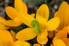 Gelbe Krokusse Lizenzfreie Stockbilder