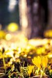 Gelbe Krokusse lizenzfreie stockfotos