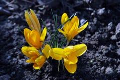 Gelbe Krokusse stockfotografie