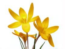 Gelbe Krokusse auf Weiß stockfoto