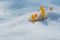 Gelbe Krokusse, bedeckt mit Schnee lizenzfreies stockbild