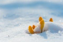 Gelbe Krokusse, bedeckt mit Schnee lizenzfreies stockfoto