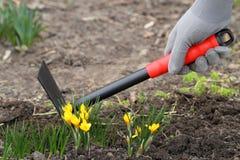 Gelbe Krokusse und mit im Garten arbeitengabel Lizenzfreies Stockbild