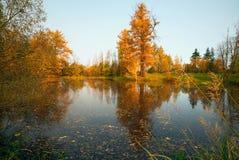 Gelbe Lärche belichtet durch die Sonne auf dem Ufer des Teichs Stockfoto