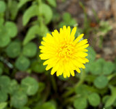 Gelbe Löwenzahnblume Stockfoto