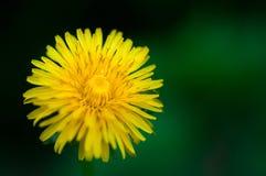 Gelbe Löwenzahnblume auf einem Hintergrund des grünen Grases Lizenzfreie Stockbilder