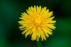 Gelbe Löwenzahnblume auf einem Hintergrund des grünen Grases Lizenzfreies Stockfoto