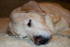 Gelbe labrador retrievers speeps friedlich lizenzfreies stockbild