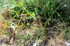 Gelbe Libelle über dem Stock Lizenzfreie Stockfotos