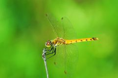 Gelbe Libelle Stockfoto
