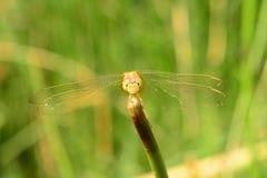 Gelbe Libelle Stockbild