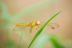 Gelbe Libelle auf dem Gras Lizenzfreie Stockbilder