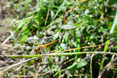 Gelbe Libelle auf dem Gras Lizenzfreie Stockfotos
