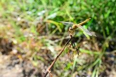 Gelbe Libelle auf dem Stock Lizenzfreies Stockfoto