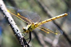 Gelbe Libelle auf Stock lizenzfreies stockfoto