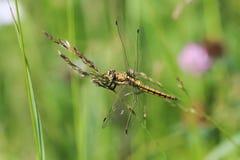 gelbe Libelle mit grünen Augen und transparenten den Flügeln, die auf einer Wiese im Gras sitzen Stockbild