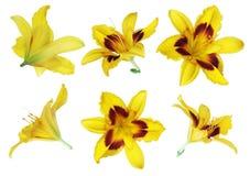 Gelbe Lilie auf weißem Hintergrund stockbild