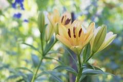 Gelbe Lilie beim Blühen Stockbilder