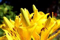 Gelbe Lilie blüht im Freien Stockfoto