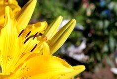 Gelbe Lilie blüht im Freien Stockbilder