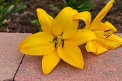 Gelbe Lilie erhielt abgerissen aber noch geblüht lizenzfreie stockfotos