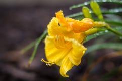 Gelbe Lilie nach Regen lizenzfreie stockbilder