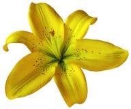 Gelbe Lilienblume auf lokalisiertem weißem Hintergrund mit Beschneidungspfad nahaufnahme Keine Schatten Für Auslegung Stockbild