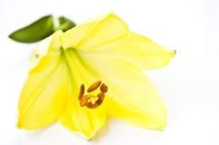 Gelbe Lilienblume auf weißem Hintergrund Stockbild