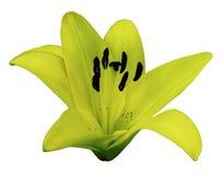 Gelbe Lilienblume Weiß lokalisierter Hintergrund mit Beschneidungspfad nahaufnahme Keine Schatten Für Auslegung Lizenzfreie Stockfotos