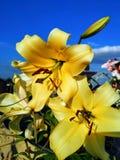 Gelbe Lilienblumen Stockfotografie