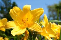Gelbe Lilienblumen Stockfoto