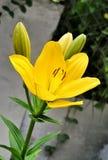 Gelbe Lilienblumen Stockfotos