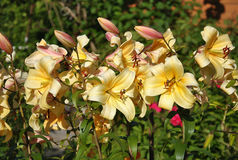 Gelbe Lily Blossom Lizenzfreies Stockbild