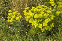 Gelbe lindgrüne Euphorbiengummi cyparissias Lizenzfreie Stockbilder