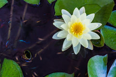 Gelbe Lotosblumen- oder -Seeroseblumen. Lizenzfreies Stockfoto