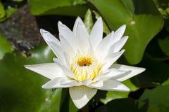 Gelbe Lotus-Blume und Lotus-Blumenanlagen Stockfotos
