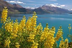 Gelbe lupines in See Wakatipu Lizenzfreie Stockfotografie