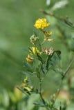 Gelbe Luzerne, Sichelluzerne oder Sichelschneckenklee (Medicago falcat Lizenzfreies Stockbild