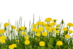 Gelbe Löwenzahnblumen auf einem weißen Hintergrund Lizenzfreies Stockfoto