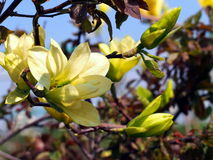 Gelbe Magnolien-'Schmetterlings' Blumen Lizenzfreie Stockfotografie
